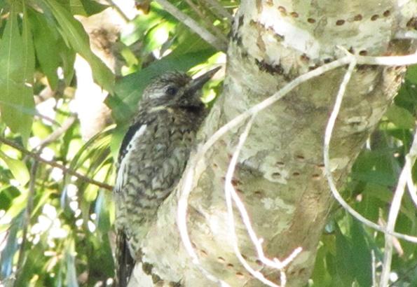 Woodpecker Feb 3