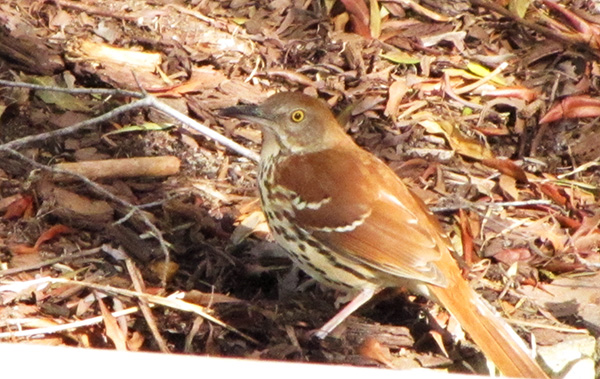 Brown Thrasher March 16
