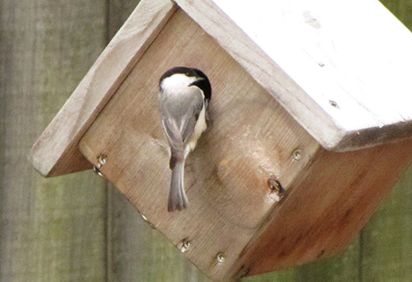 Chickadee March 26