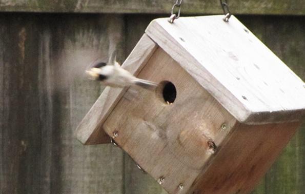 Chickadee March 26