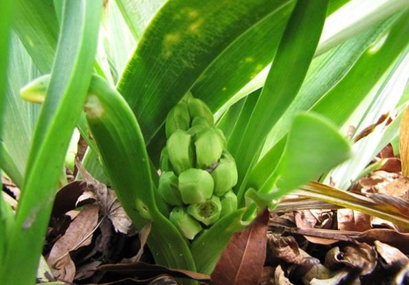 Hyacinth March 16