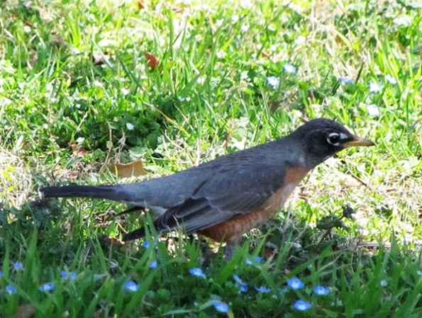 Robin March 17