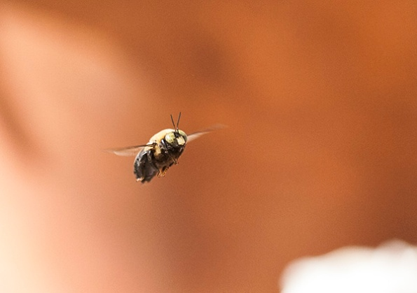 Carpenter Bees April 6