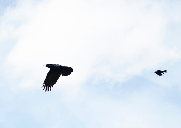 Crow and Grackle April 10