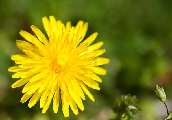 Dandelion April 10