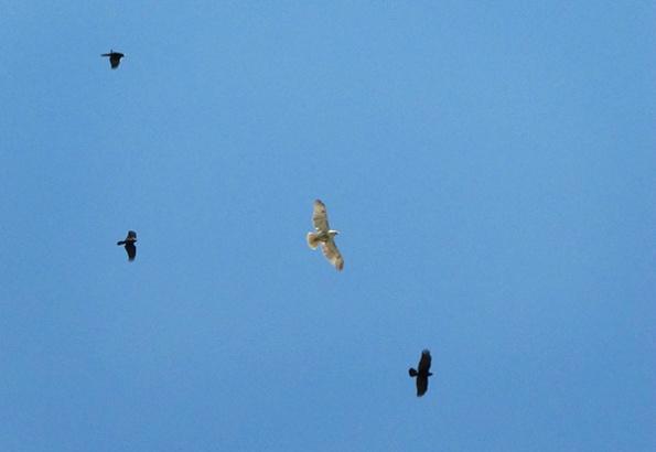 Hawk April 12