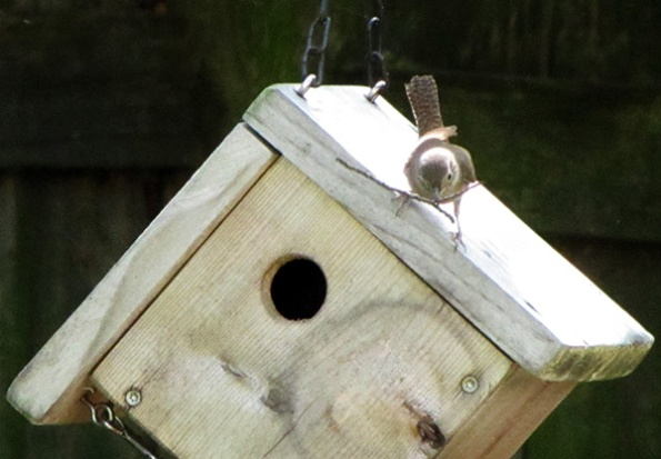House Wren April 21