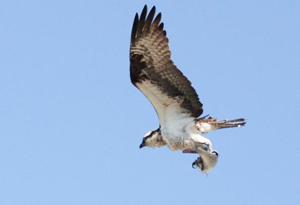 Osprey April 22