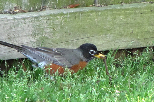 Robin April 22