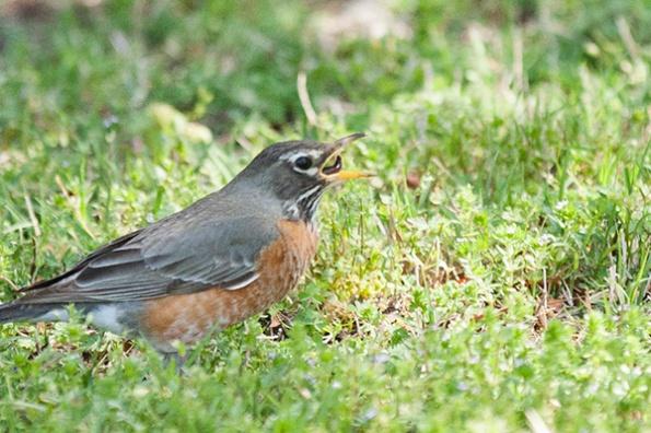 Robin April 22