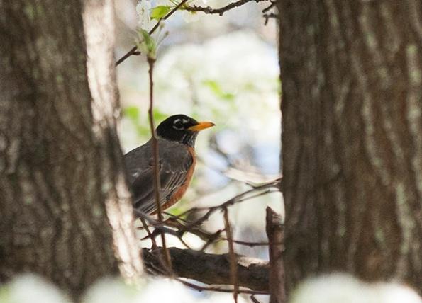 Robin April 6