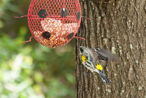 Warbler April 11