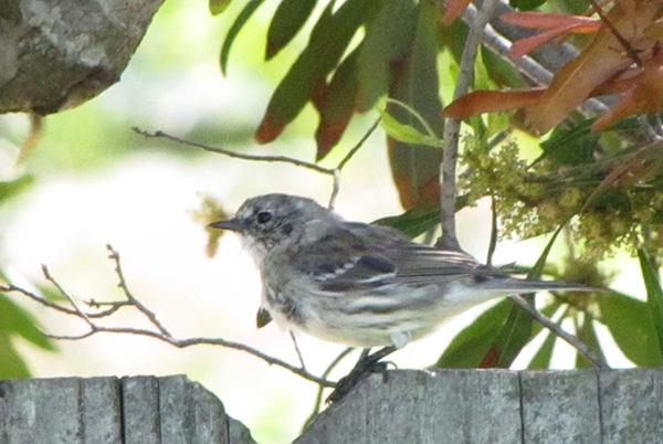 Warbler April 22