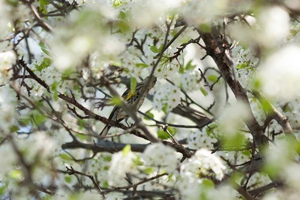 Warbler April 6