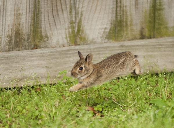 Rabbits May 12