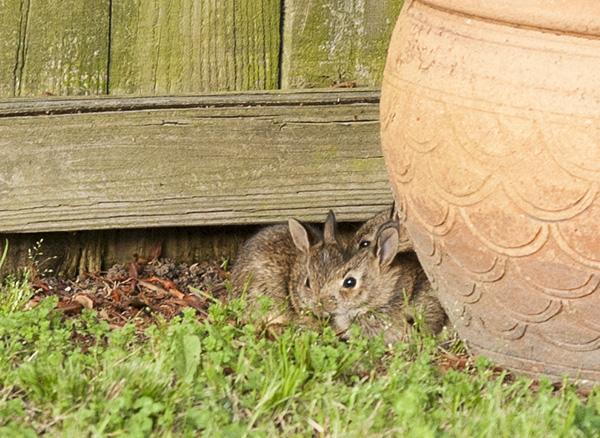 Rabbits May 13