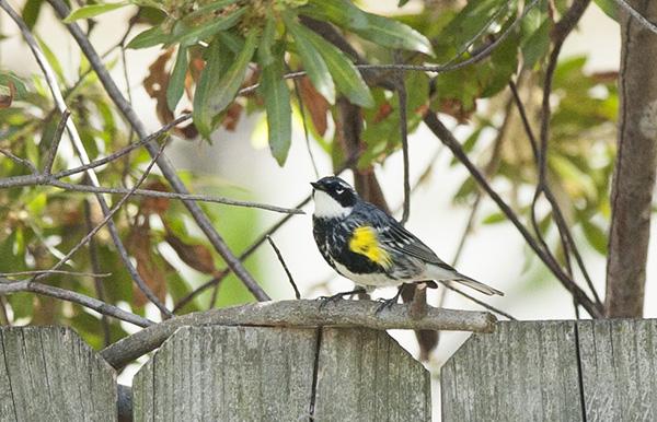 Warbler April 29