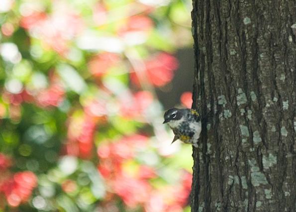 Warbler May 3