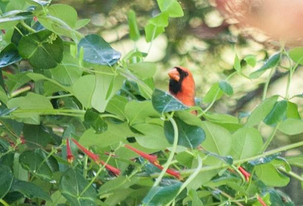 Cardinal May 11