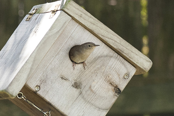 House Wren April 29