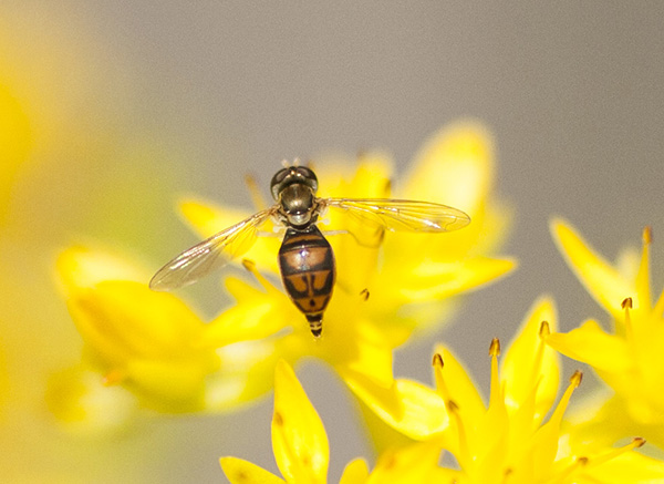 Hover Fly May 12
