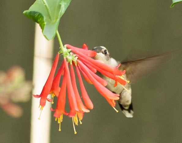 Hummingbird June 11
