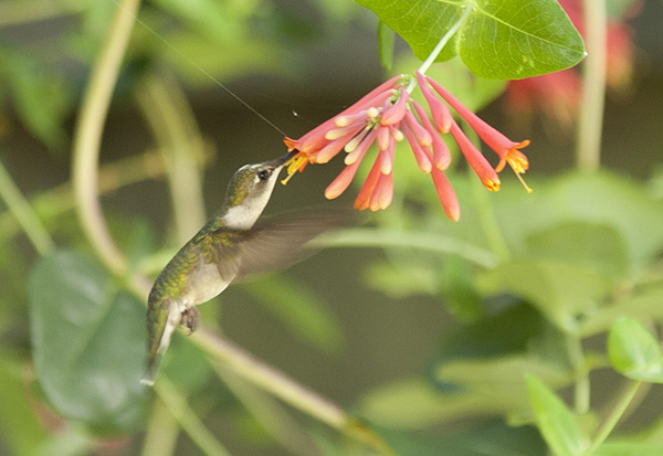 Hummingbird June 11