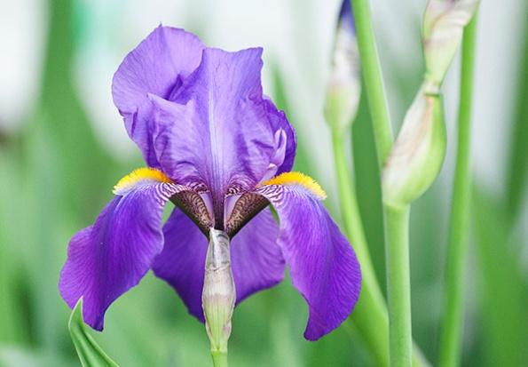 Iris May 7