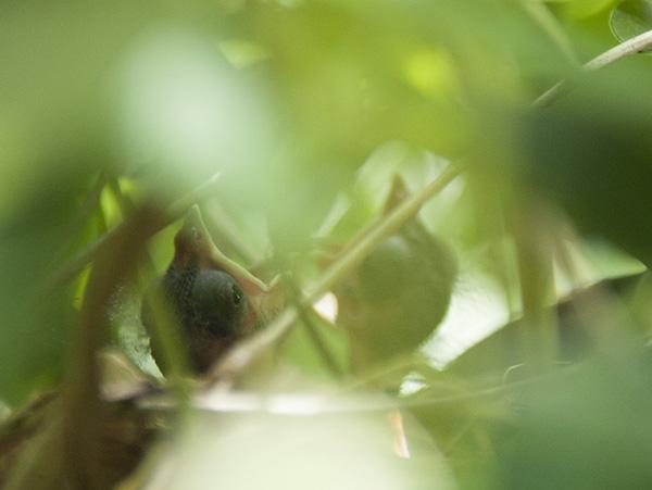 Nestling June 1