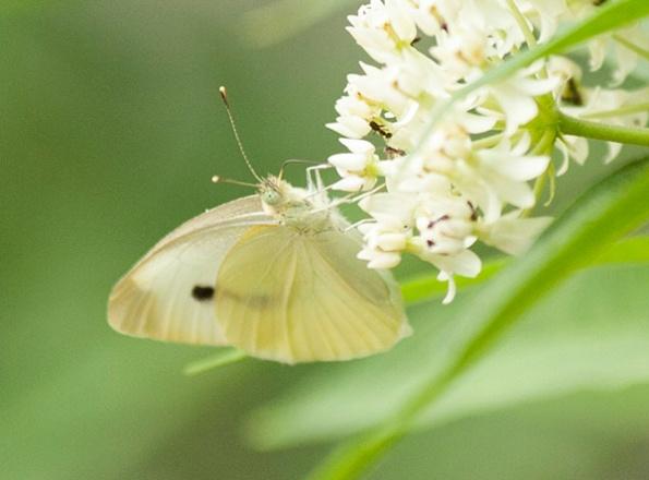 Butterfly June 11