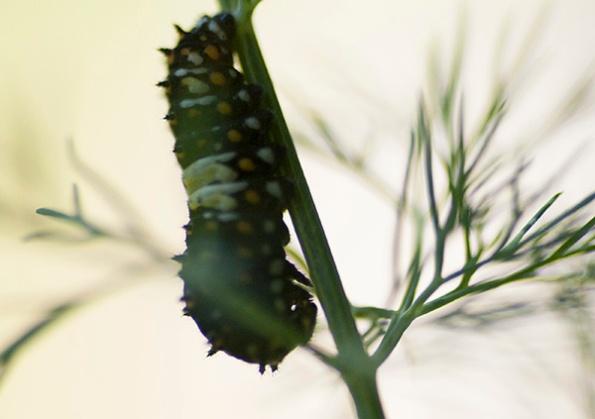 Caterpillar May 25