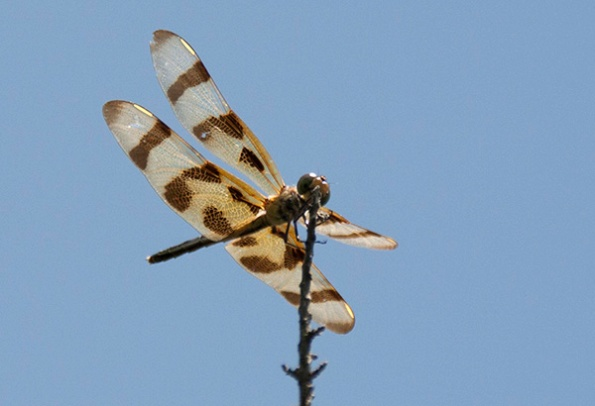 Dragonfly July 4