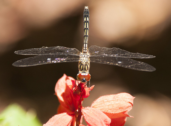 Dragonfly July 9