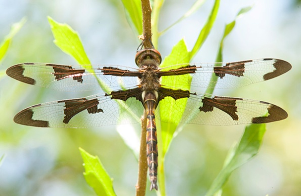 Dragonfly June 17