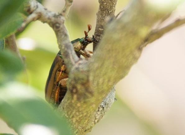 June Bug July 4