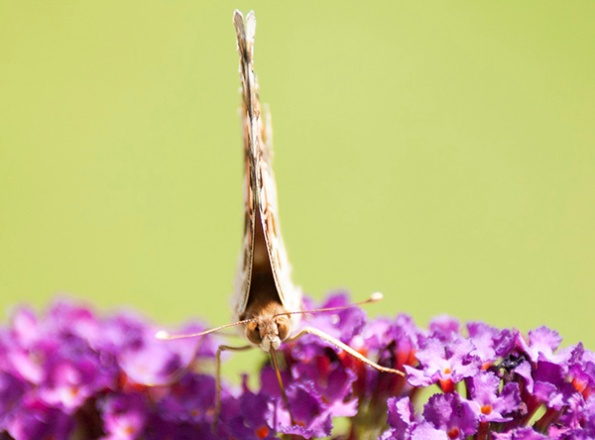 Painted Lady July 9
