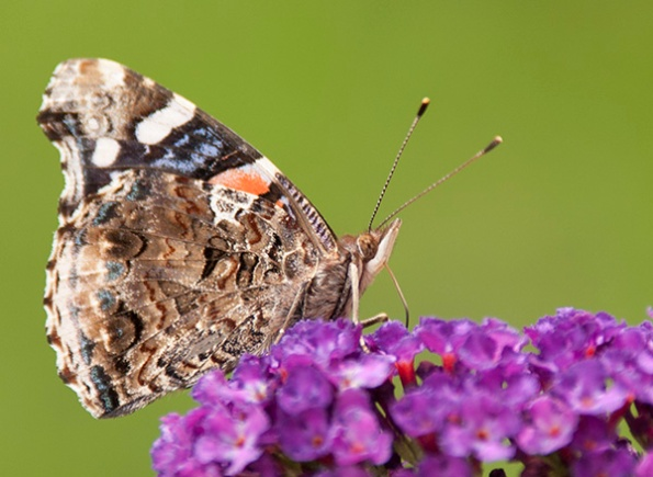 Red Admiral July 12