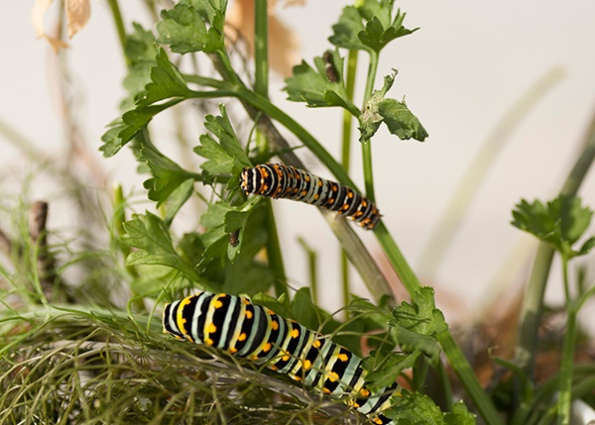 Caterpillars August 27