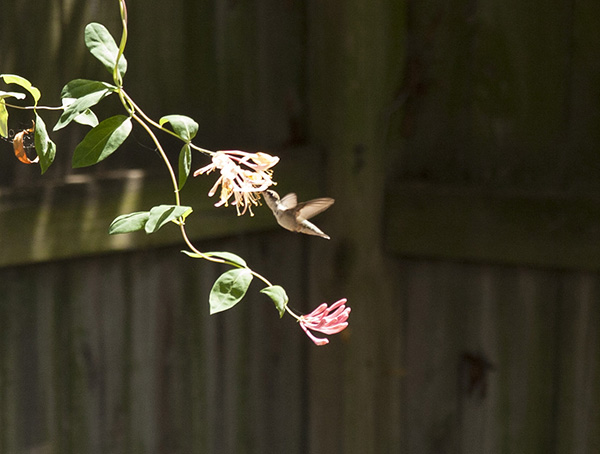 Hummingbird August 23