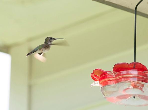 Hummingbird August 23