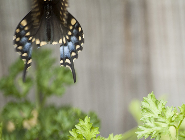 Swallowtail August 5