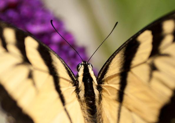 Swallowtail July 17