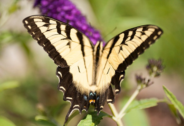 Swallowtail July 17