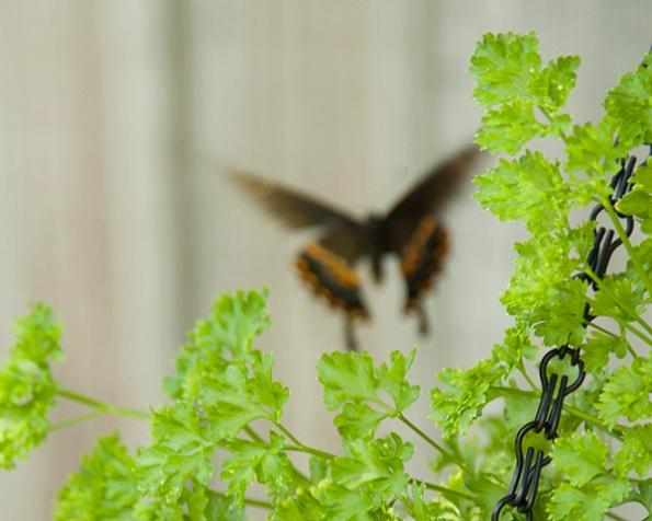 Swallowtail July 9
