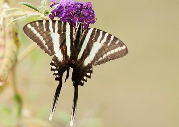 Zebra Swallowtail August 30