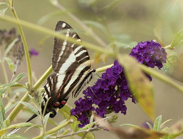 Zebra Swallowtail August 30