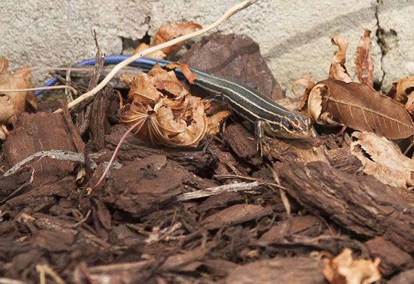 Lizard Sept 7