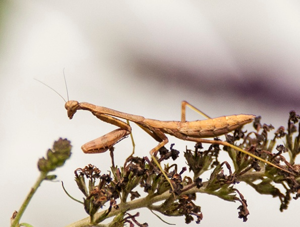 Mantis July 27