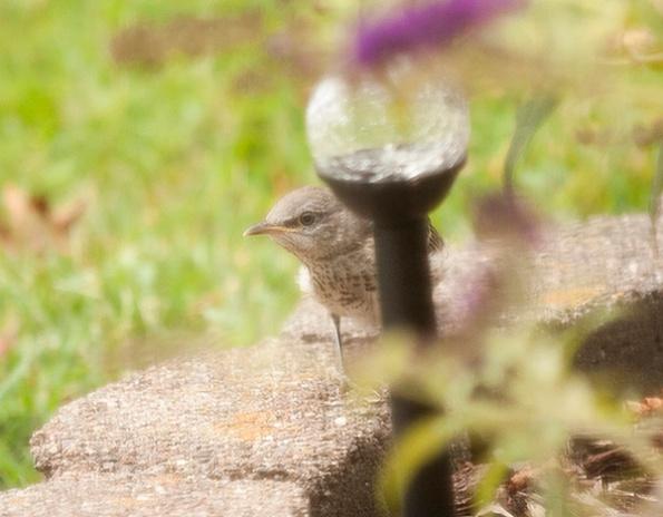 Mockingbirds August 6