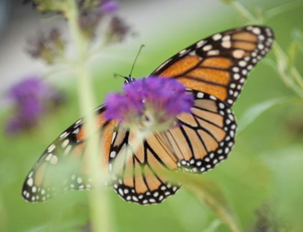 Monarch July 21